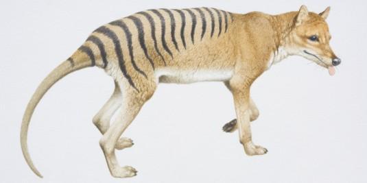 tasmanian-tiger-facebook