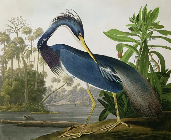 louisiana-heron-john-james-audubon