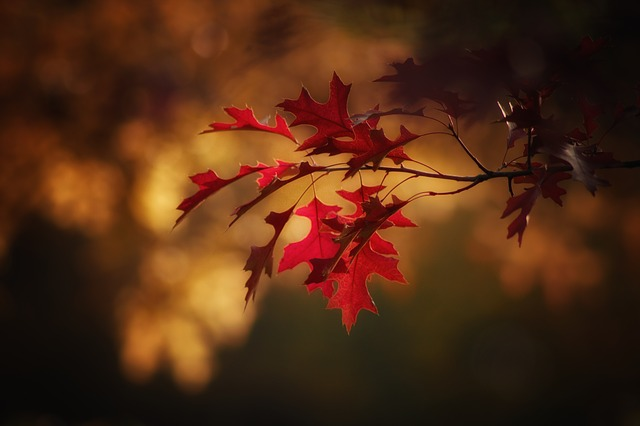 maple-leaves-2895335_640