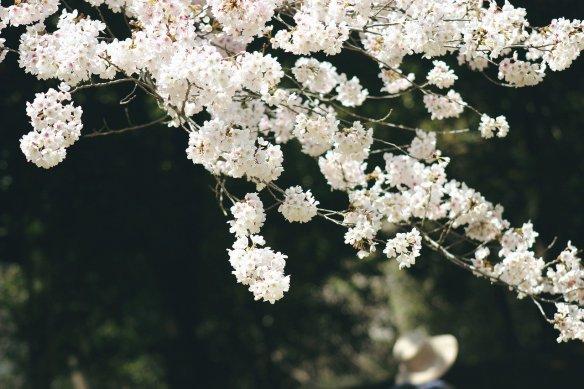 sakura-4890030_1280