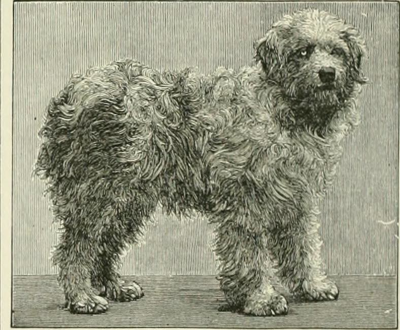 shaggy dog1_c